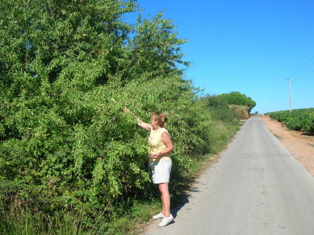 Le chemin de l'Autoroute - la cueillette des amandes