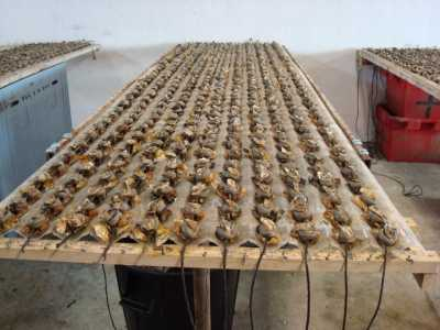 cimentage des huitres ---- Marseillan Village